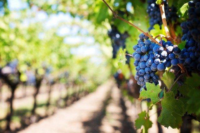 Purple Grapevine Orchard